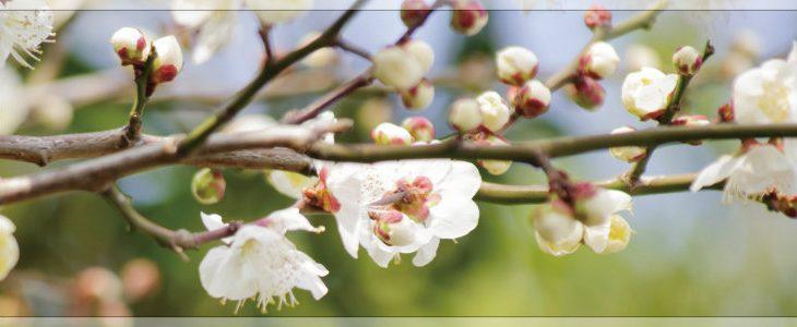 静岡県で梅まつり2017開催~冬至梅(白梅)と八重寒梅(赤梅)が満開~花言葉は?